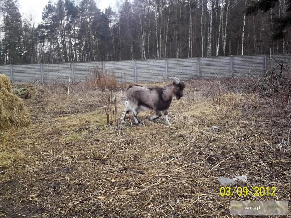 młoda koza mleczna dojna plus koziołek gratis