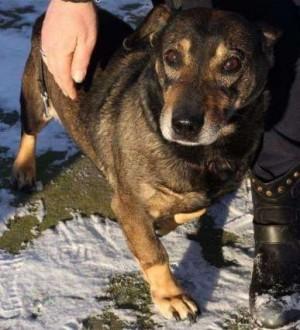 Osowiały pies Gutek gaśnie w schronisku   śląskie Katowice