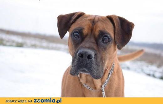Modish Ogłoszenia: oddam psa, oddam szczeniaka Bokser pl 1 HR37