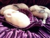 Śliczne 4 króliczki rasy Mini Lop AKTUALNE