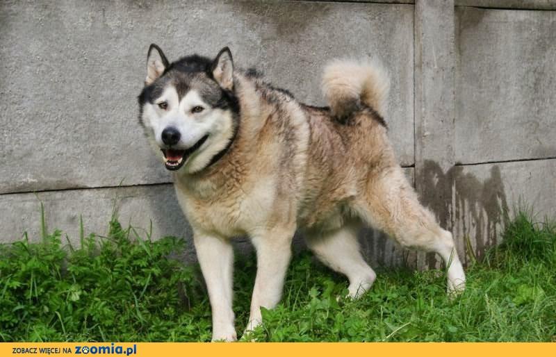 Jaskier, spokojny, piękny alaskan malamute szuka domu