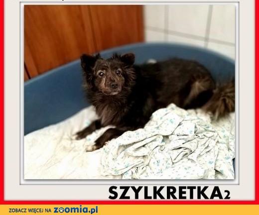 Mała,łagodna,niesmiała,sterylizowana suczka SZYLKRETKA2.ADOPCJA,  śląskie Katowice
