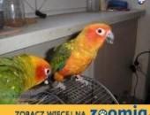 Konury słoneczne ręcznie karmione i inne papugi