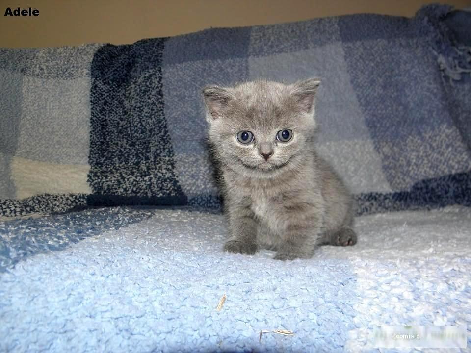 Koty Brytyjskie Niebieskie Krótkowłose Brytyjski Koty