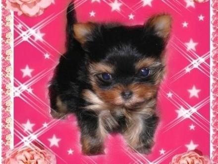 York yorkshire terrier! ELITARNE MICRO MINI CUDEŃKA XXXXS dla VIP-ów! Kraków