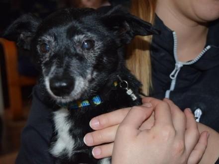 Belmondo  ułożony  nakolankowy psiak szuka domu!