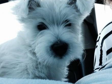 Szczeniak West Highland Terrier szuka domu!   wielkopolskie Kalisz