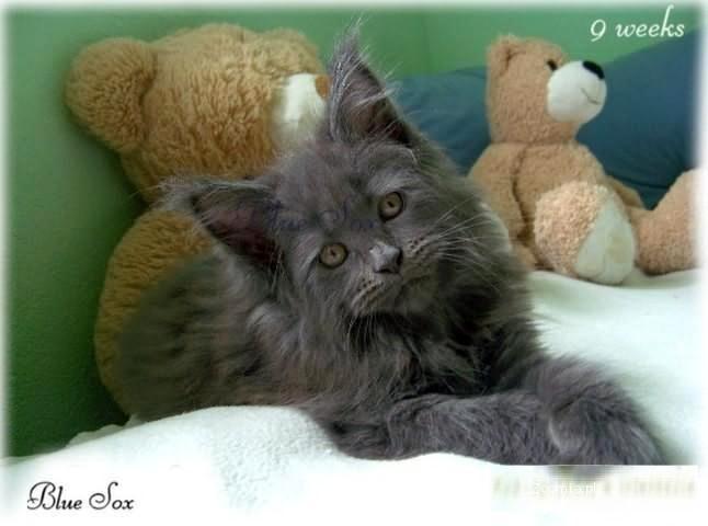 Reprezentacyjny przyjaciel .Koty rasy maine coon