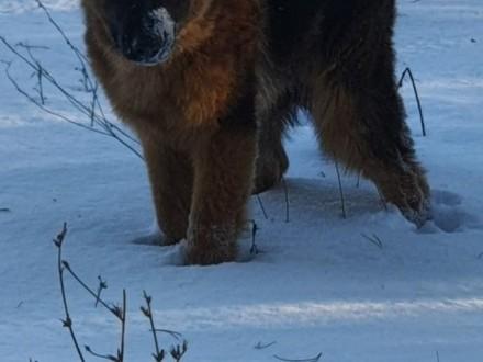 Pies owczarek niemiecki długo włosy