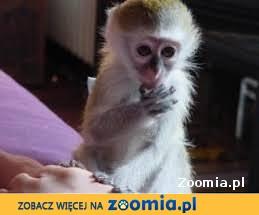 11 tygodni małpy capuchine do przyjęcia