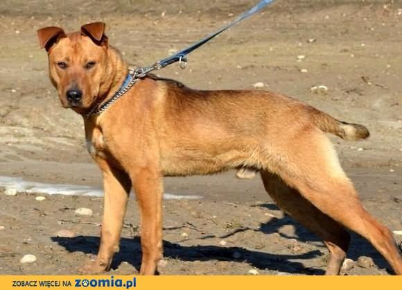 Młodziutki, przepiękny pies - Rudi :)