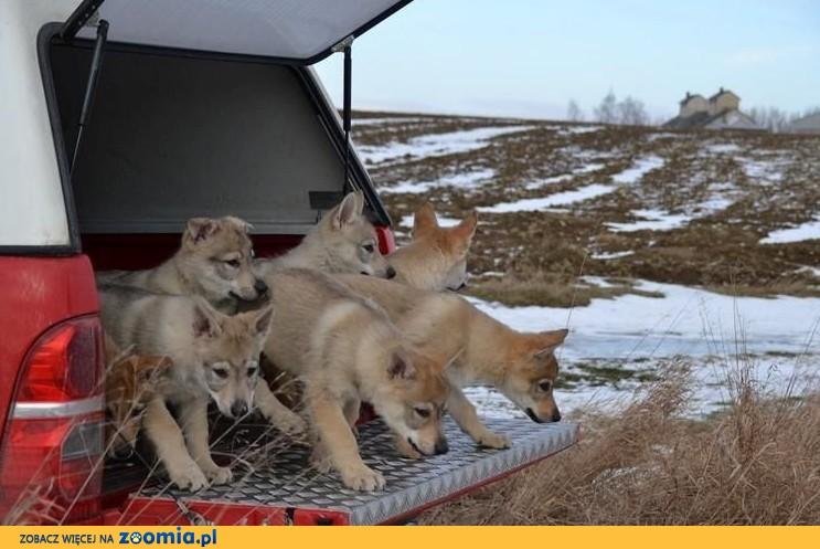 Szczenięta wilczura czechosłowackiego z rodowodem