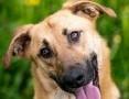 Orion - Inteligentny pies dla aktywnych! Spójrz na tego przystojniaka!,  świętokrzyskie Kielce
