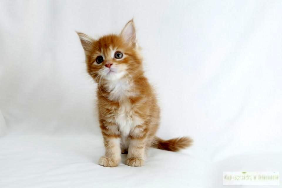 Maine Coon-cudowne kocięta