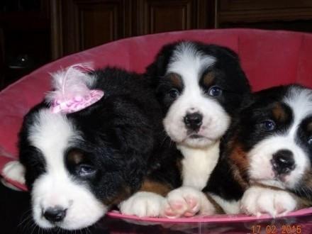 Berneński Pies Pasterski śliczne Damy ! 4 pokoleniowy rodowód!