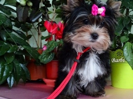 Yorkshire Terrier_Black_Tan_Tricolor_śliczna suczka mini  Krapkowice