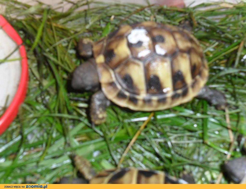 żółwik, żółw grecki Testudo Hermani