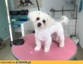 Psi fryzjer  strzyzenie psów Salon AMOR ,  małopolskie Oświęcim