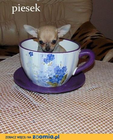 Kieszonkoweperełki Chihuahua kochają dzieci,uczone czystości,metryka,chip,wyprawka-ZOBACZ!,  mazowieckie Warszawa