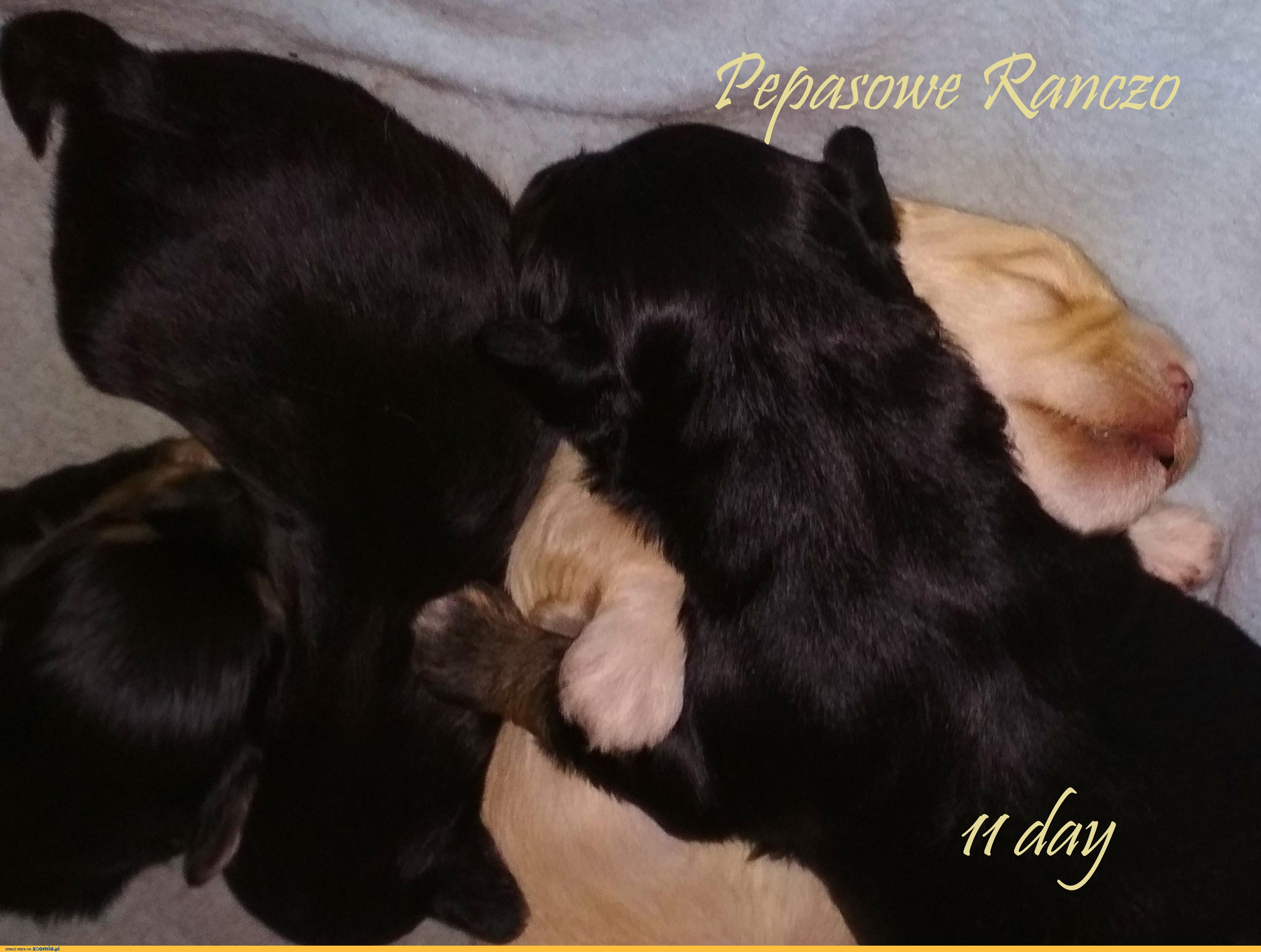 szczeniak pies Hawańczyk nie Chihuahua york Coton Gryfon Lhasa maltańczyk toy papilon bichon shih trrier