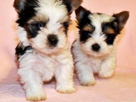 Biewer Yorkshire Terrier pieski na sprzedaż rodowód FCI ZKwP