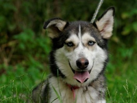 Duśka bardzo przyjacielska sunia w typie siberian husky szuka domu   Kundelki cała Polska
