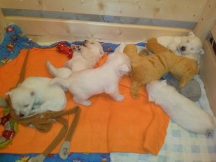 West Highland White Terrier- Szczeniaczki po Chionie   kujawsko-pomorskie Świecie