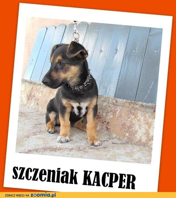 KACPER-szczeniak 6mies., mały, jamnikowaty,wesoły,przyjazny.ADOPCJA