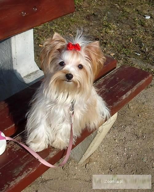 York biewer golddust mamy szczeni ta yorkshire terrier for Ohrensessel york big