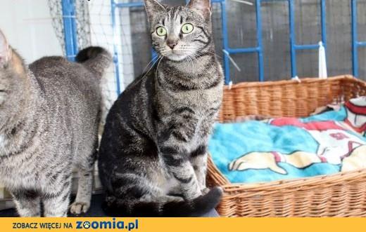 Kontaktowa piękna kotka Shabi,  dolnośląskie Wrocław