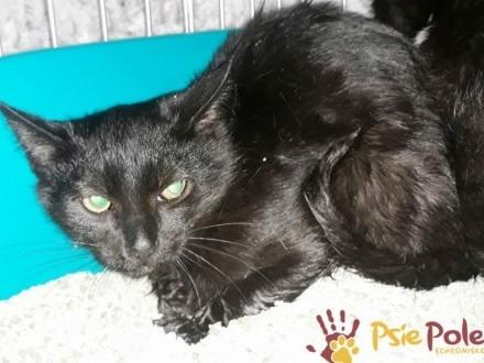 BATMANEK-nieduży  piękny  czarny kotek i rodzeństwo szukają domów  adopcja
