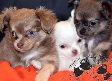 Chihuahua szczenięta z metryką ZKwP