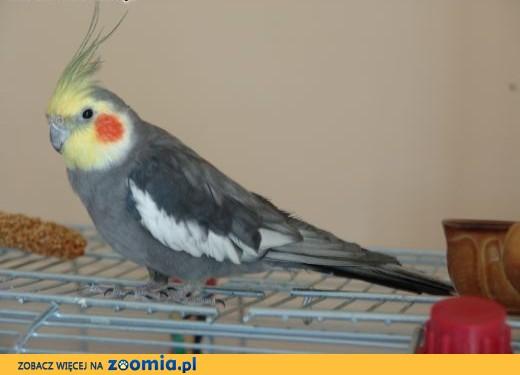 papużka nimfa Wojtek -  do adopcji,  małopolskie Wadowice