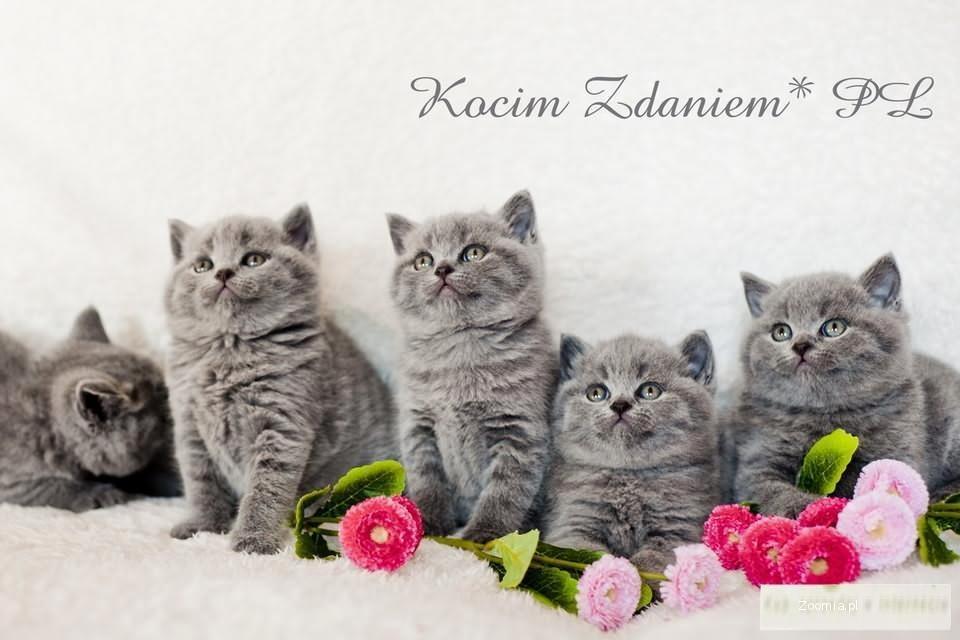 Kot Brytyjski Ogłoszenia Z Hodowli Koty Brytyjskie Zoomiapl Pl 3