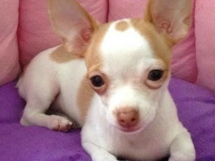 Doskonałe szczenięta Chihuahua do adopcji