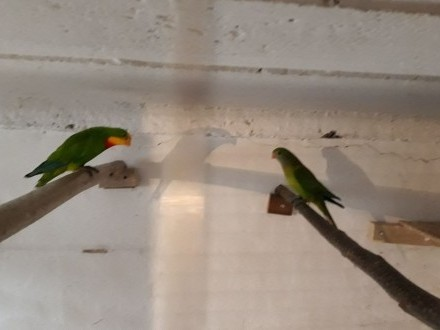 Sprzedam Papugi Barabandy Parka