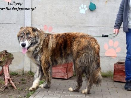 Lollipop - piękny, towarzyski pies