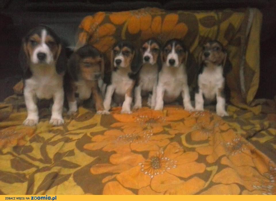 Sprzedam piękne pieski rasy beagle :)