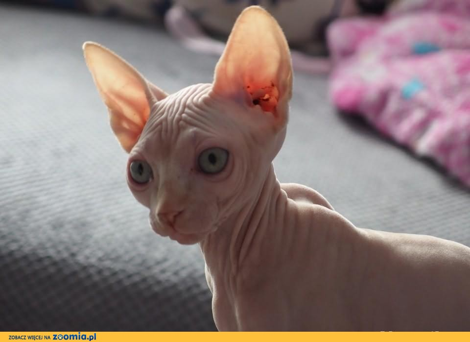 Śliczna rodowodowa kotka sfinks kanadyjski ATENA odbiór w połowie...