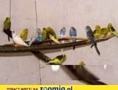 Młode papużki faliste 20013r