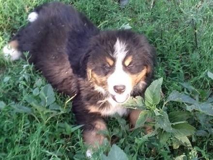Bermeński pies pasterski