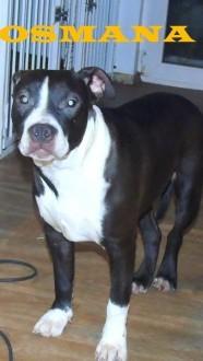 American Stafforshire Terrier wyjątkowe szczenięta z metrykami ZKwP FCI