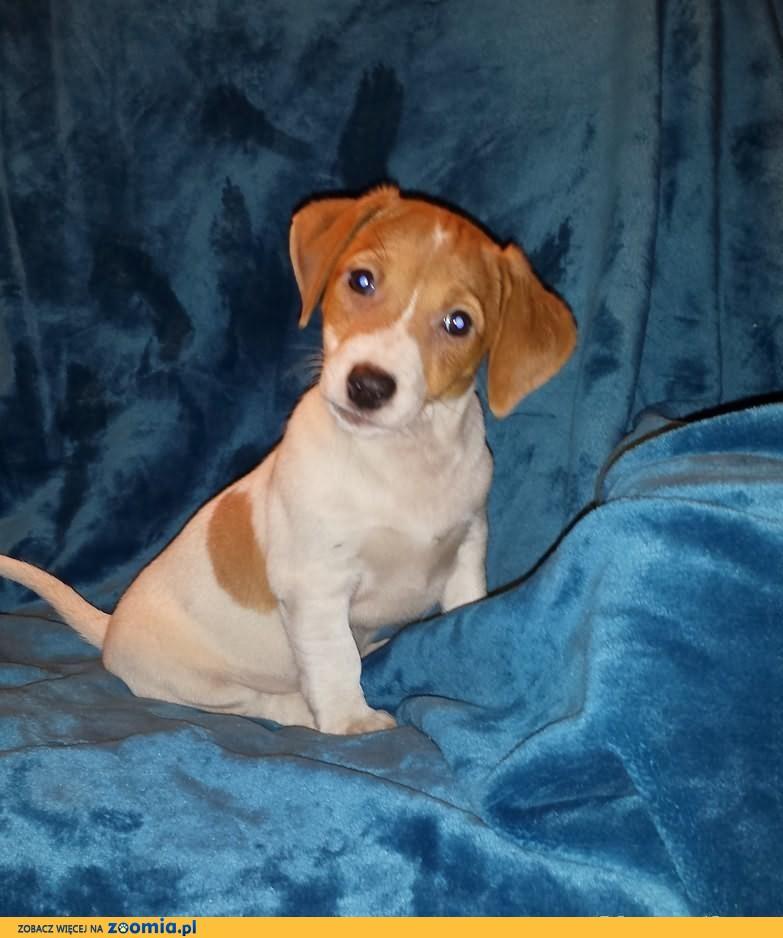 Jack Russell Terrier z holenderskim pochodzeniem