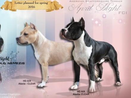 April Night (FCI) - Wyjątkowe szczenięta oczekiwane w kwietniu! American Staffordshire Terrier