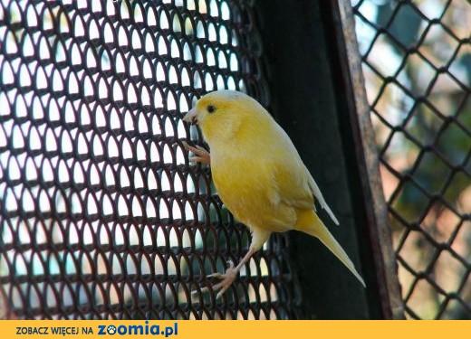 Kanarki samce.,  Kanarki cała Polska