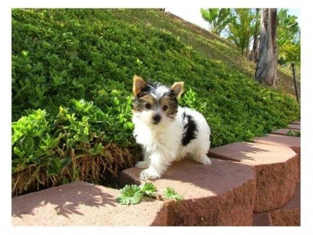 Yorkshire Terrier Mimi Toy gotowe do adopcji