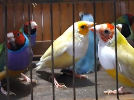 Kanarki  amadyny papuziki