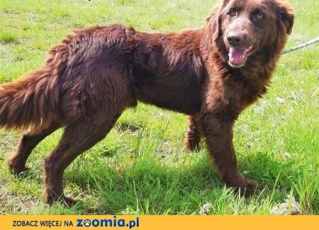 LUKIER - piękny, 1,5 roczny psiak w typie płochacza szuka PILNIE domu,  małopolskie Kraków