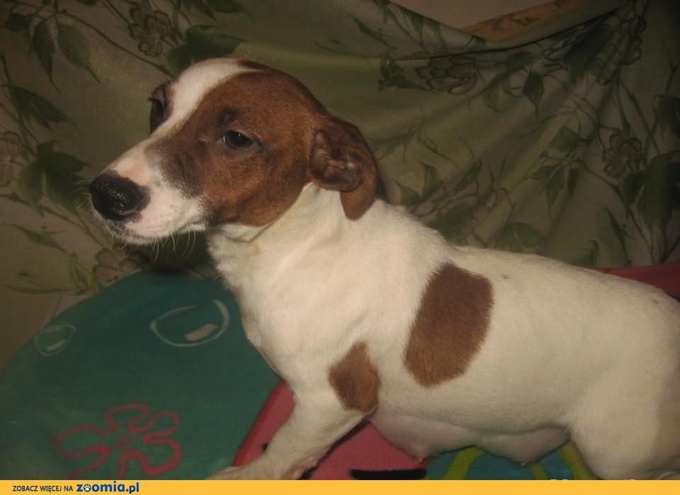 Dorosłe suczki i pies Jack Russell Terrier ze szczeniakami