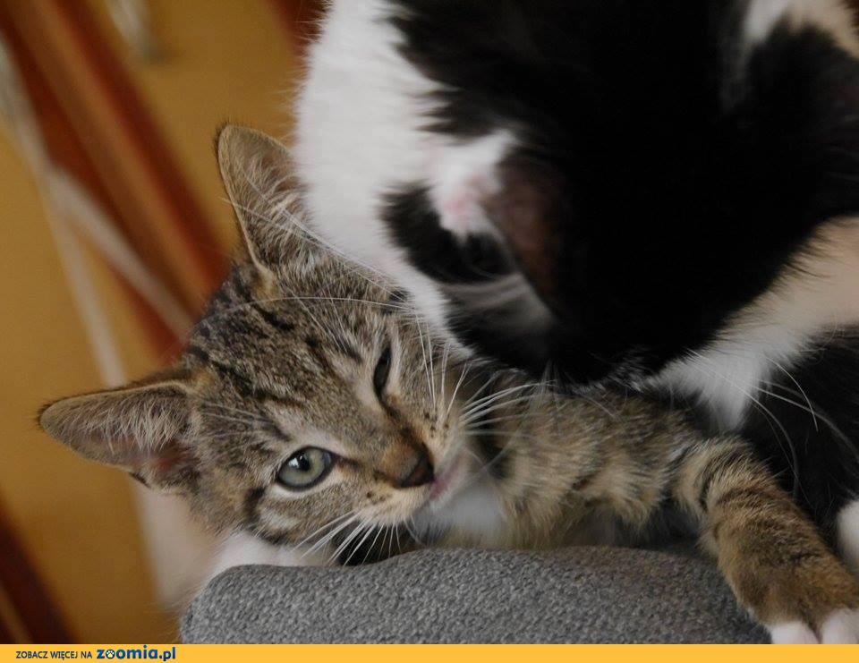 3 miesięczne kociaki szukają domów!